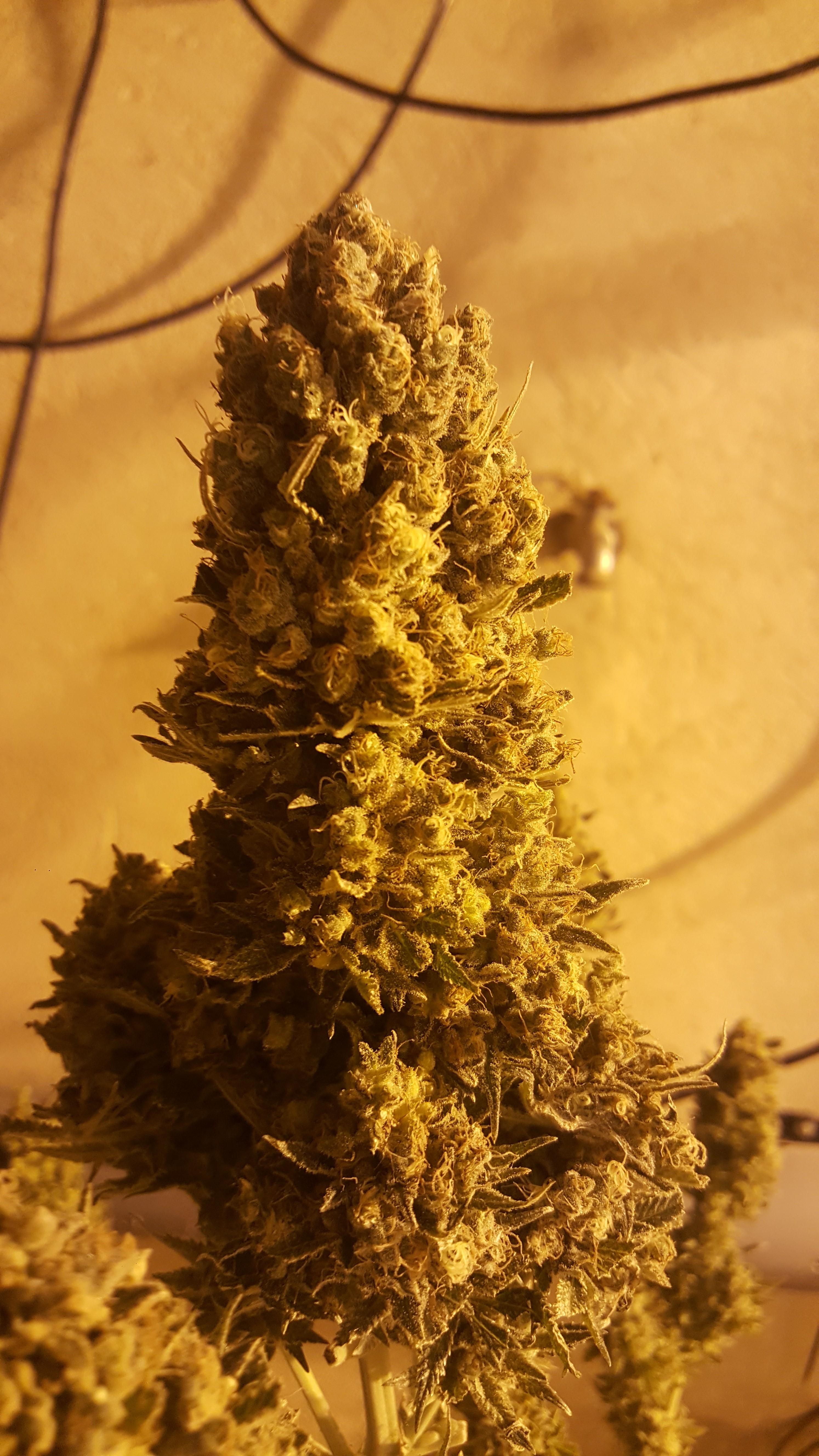 Top cheese auto semillas de marihuana baratas - Semillas de interior ...
